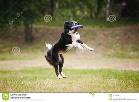 catching frisbee frisbee catching disc stock photography image 26577082