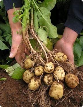coltivare patate in vaso coltivazione patate orto