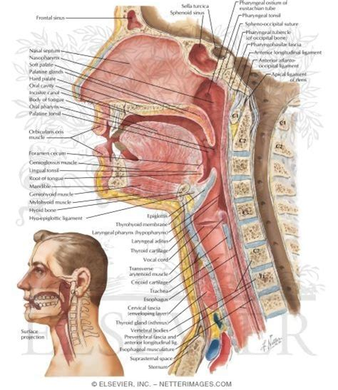 sagittal section of head and neck sagittal section of the pharynx