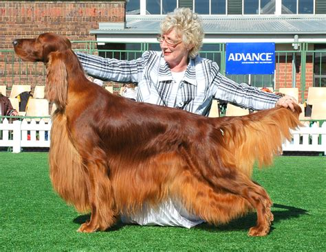 irish setter dies dog show irish setters australia
