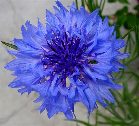 Corn Flower Blue Flower Inspiration   inspirational cornflower blue eyeshadow modern glamour woc