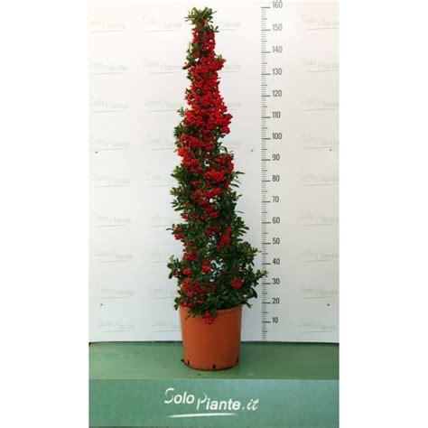 pyracantha in vaso piracanta pyracantha cono vendita piante on line