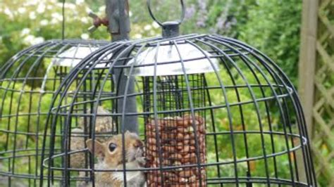 peckish squirrel eats so many nuts it gets stuck in bird