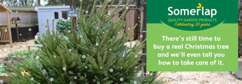 how long do real christmas trees last how do real trees last somerlap forest products