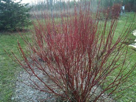 red twig dogwood shrubs cornus u alba usibiricau red twig dogwood with red twig dogwood shrubs