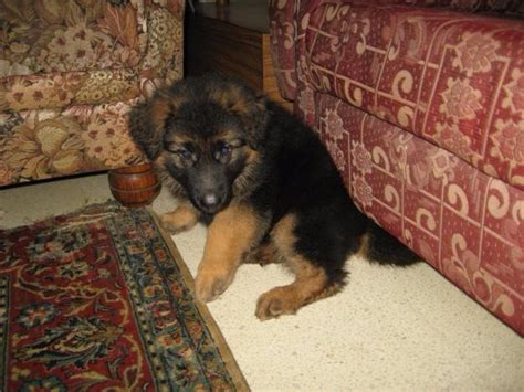 free german shepherd puppies for adoption german shepherd puppies for adoption pets for free adoption dubai city