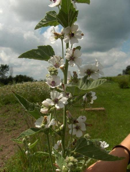 marshmallow plant picture marsh mallow althaea