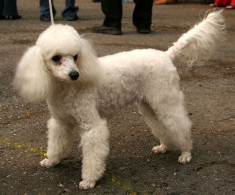poodle lifespan miniature poodle breeds with the span page 5 of 26