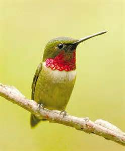 ruby throated hummingbird close sitting hummingbird
