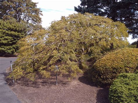 maple tree trimming when to time your tree pruning tips for portland landscaping by kirk lobb