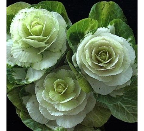 buy ornamental cabbage white kale online at cheap price - Ornamental Cabbage Buy