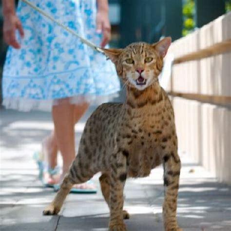 exotic house cats ashera exotic house cat