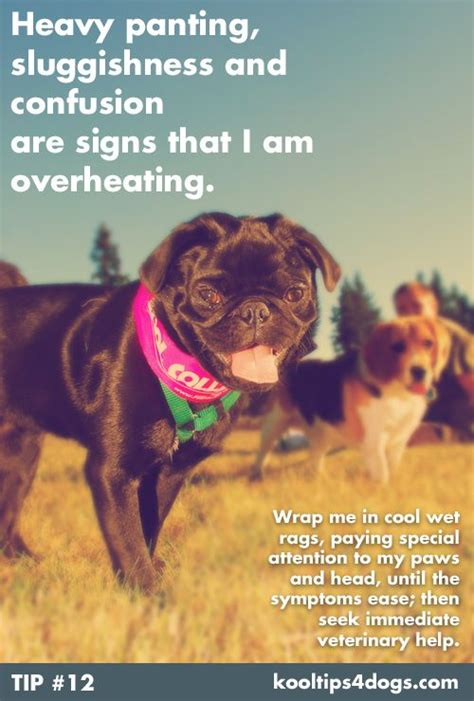 heavy panting in dogs heavy panting sluggishness and confusion are signs that your is overheating www