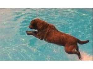 chesapeake bay retriever puppies for sale nc chesapeake bay retriever puppies in new york