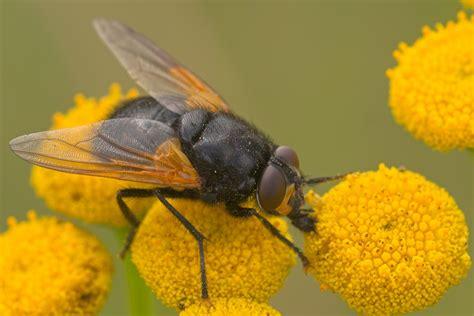 fliegen ohne flgel eine b00hz58672 kline insektenkunde fliegen stubenfliege insekten