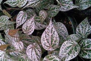 Air Hidrosol Daun Sirih Murni 500 Ml mengenal manfaat daun sirih merah