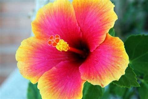 fiore ibiscus ibisco significato fiori