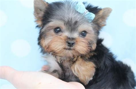 yorkie hair bows for sale teacup puppies yorkies stuff yorkie puppys and teacup