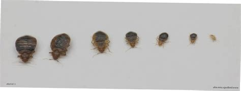 what does a baby bed bug look like bed bug baby ccbg throughout what does baby bed bugs look like superb baby bed