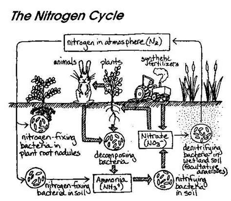 Nitrogen Cycle Worksheet by Ib Biology Chemistry Ib Microbes And Biotechnology Option F