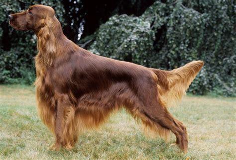 setter dog types irish setter breed information