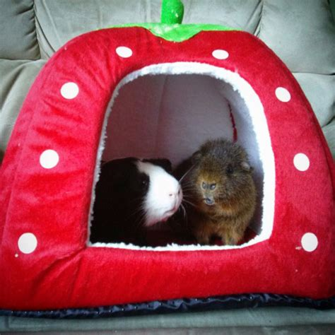 guinea pig bed new strawberry bed cute guinea pigs pinterest