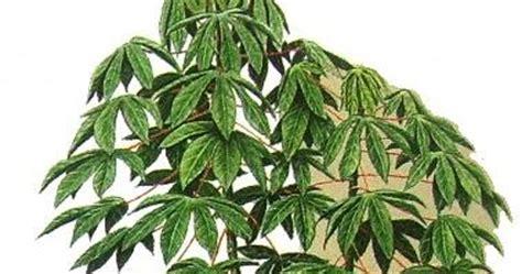 Bibit Ubi Kayu ubi kayu varietas unggul nasional ubi kayu raksasa
