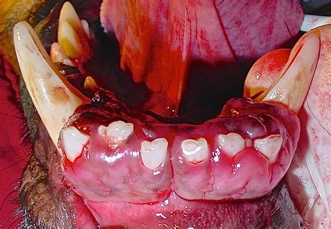 gingival hyperplasia in dogs how to treat gingival hyperplasia veterinary practice news