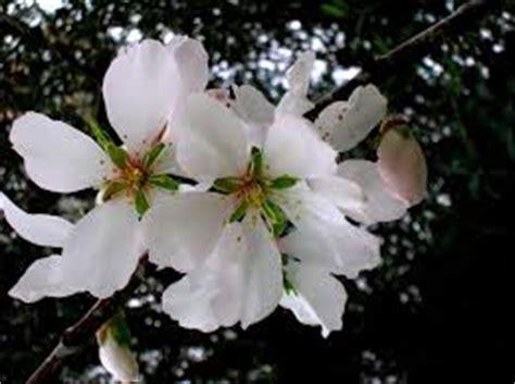 fiore simbolo di speranza il fiore di mandorlo significa speranza fiorista