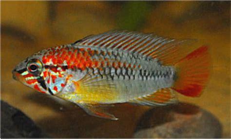 Ikan Apisto Agassizi Gold Apistogramma Agassizi Gold cichlids s cen america southland aquatics tropical fish suppliers
