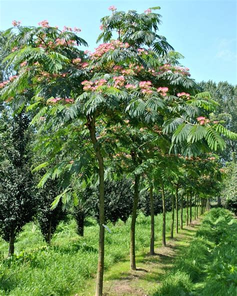 Light Up Flowers In Vase Albizia Julibrissin Ombrella Boubri Van Den Berk