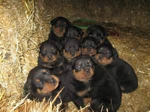pictures rottweiler puppies rottweiler puppies puppies picture