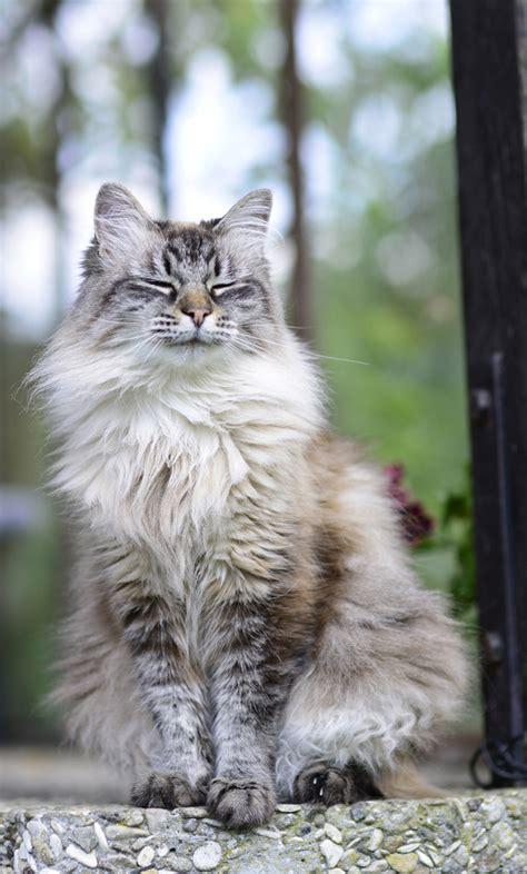 cat cat siberian cat breed information pictures characteristics