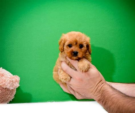 cavapoo puppies breeders beautiful f1 cavapoo puppies available cavapoo for sale