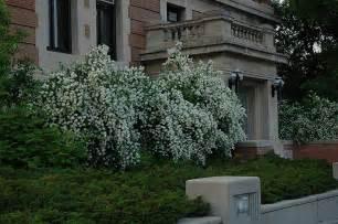 blizzard mockorange philadelphus blizzard inver grove heights minnesota mn gertens