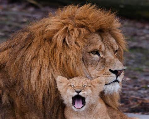 imagenes de unos leones leones bebes si aca estan taringa