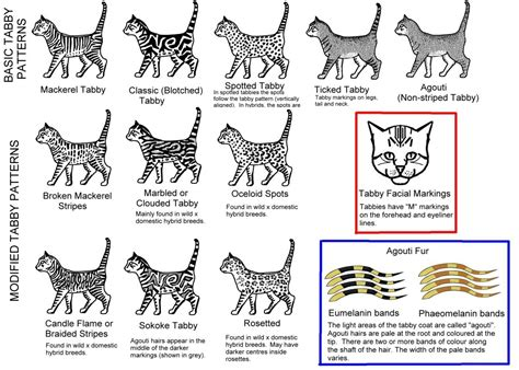 Cat Pattern Types | bengal coats and patterns bengal royalty cattery