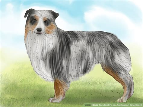 how to australian shepherd how to identify an australian shepherd 12 steps with pictures