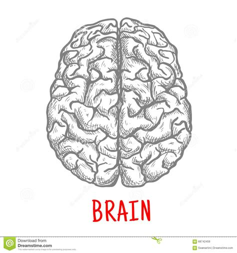 brain diagram top view human brain sketch pictures to pin on pinsdaddy