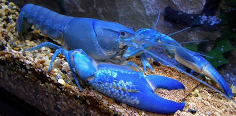 what color is lobster blood colored lobsters the fact site
