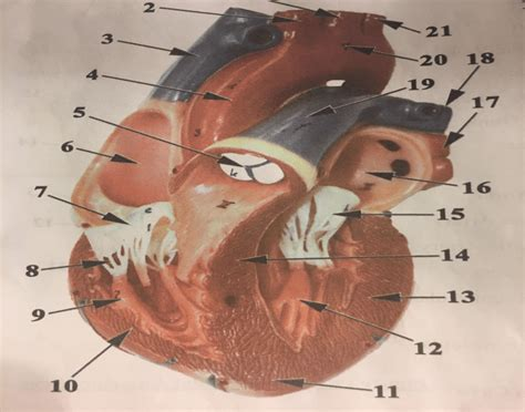 frontal section of the heart frontal section of the heart 28 images gross anatomy