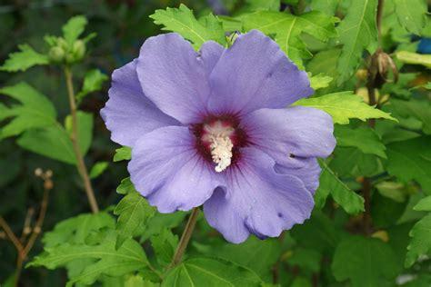 Hibiscus Syriacus Pflege 3796 hibiscus syriacus pflege gartenhibiskus hibiscus syriacus
