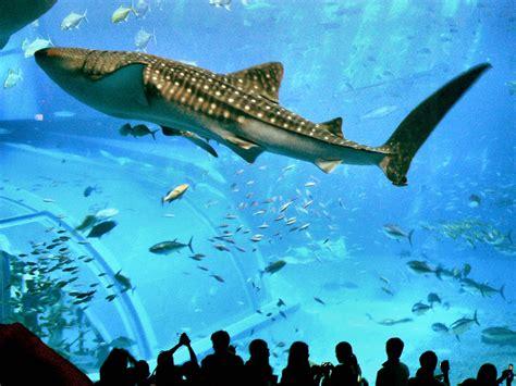japanese aquarium okinawa churaumi aquarium in japan facts pod