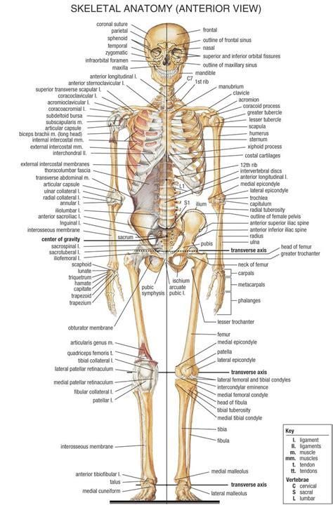 bones diagram bones in diagram anatomy human library
