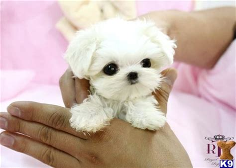 maltese puppies for sale houston maltese puppy for sale precious micro teacup maltese baby 7 years