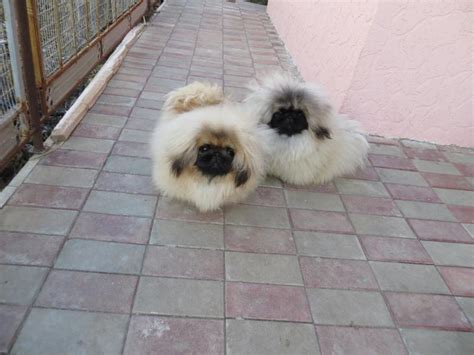 pekingese puppies for sale white pekingese puppies 4k wallpapers