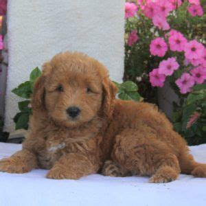 labradoodle puppies for sale ny 25 best ideas about labradoodle puppies for sale on labradoodle for sale