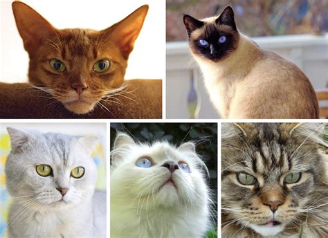 which breed are you which cat breed are you buzzfeed cats
