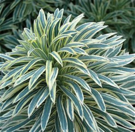 euphorbia tasmanian tiger spurge from riverbend nursery