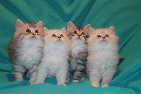 cat breeders siberian cat cat breeders websites kittysites